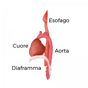 anatomia cuore e diaframma
