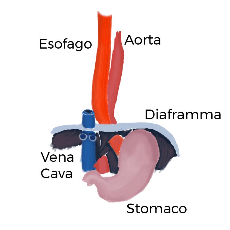 anatomia vena cava inferiore e diaframma